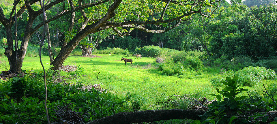 Upcountry Horses In Meadow