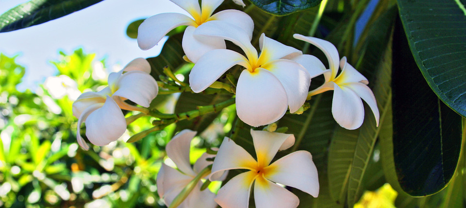 Plumeria Flower Aloha Cottage Maui