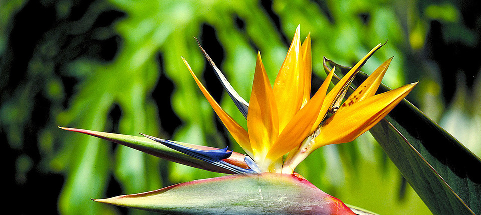 Bird of Paradise - Aloha Cottage