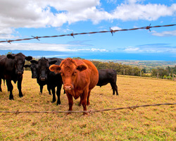 Upcountry Cows - Aloha Cottage