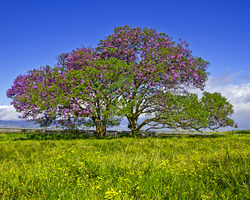Upcountry Jacaranda Tree Aloha Cottage